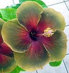 100 PCS Giant Hibiscus Flower Seeds Hardy ,rare home flower for DIY Garden potted or yard flower plant best gift for girl kid Hibiscus Bush, Hibiscus Rosa Sinensis, Hibiscus Plant, Hibiscus Flowers, Green Flowers, Strange Flowers, Rare Flowers, Exotic Flowers, Amazing Flowers