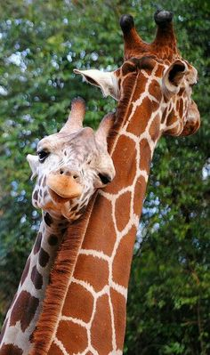 Animal Babies baby animals are the cutest giraffe Giraffes Animals And Pets, Baby Animals, Funny Animals, Cute Animals, Wild Animals, Animals Planet, Cute Creatures, Beautiful Creatures, Animals Beautiful