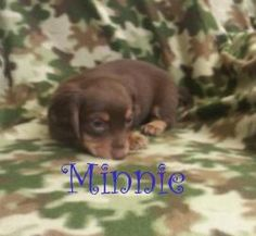 Minnie is an adoptable Dachshund Dog in Houston, MO. MINNIE DoxieMix Female BABY Hello my name isMinnie, I am8 weeks old.Our momma was brought to the shelter as a stray, the shelter allowed her t...