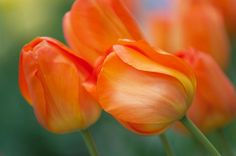 Orange Dutch Tulips Acrylic Print by Jenny Rainbow. All acrylic prints are professionally printed, packaged, and shipped within 3 - 4 business days and delivered ready-to-hang on your wall. Choose from multiple sizes and mounting options. Tree Photography, Floral Photography, Fine Art Photography, Rainbow Flowers, Rainbow Art, Art Prints For Home, Fine Art Prints, Dutch Tulip, Tulips