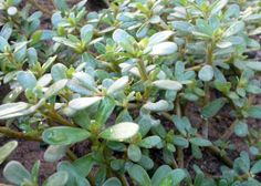 """Purslane - considered a weed in America, it has been used for centuries as remedy for arthritis. It contains more Omega-3 than any other plant type. Known as Ma Chi Xian (pinyin: translates literally as """"horse tooth amaranth"""") in Traditional Chinese medicine is used to treat infections or bleeding of the genito-urinary tract as well as dysentery. The fresh herb may also be applied topically to relieve sores and insect or snake bites."""
