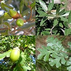 FETER LE CHENE : Le chêne se fête du 10 juin au 7 juillet de chaque année druidique. Il est associé à la lettre oghamique D correspondant à l'Ogham Duir et la rune Rad. Le chêne est l'arbre sacré des druides, il est le centre de tous les rituels et cérémonies druidiques.