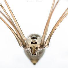 Cellar Spider by BokehLight DeviantArt