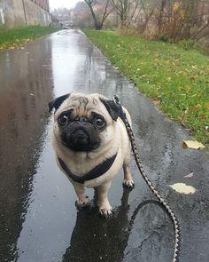 Und es regnet und regnet und regnet und regnet immer weiter.... Kann das auch mal wieder aufhören?! #mops #mopsleben #mopsliebe #mopsofinstagram #mopsig #instamops #mopstagram #pug #instapug #puglife #puglove #puglover #pugpost #pugworld #worldofpug #pugsarethebest #pugoftheday #pugsofinstagram #pugmania #pugbasement #worldofcutepugs #dog #instadog #dogstagram #dogsofinstaworld #dogsofig #pet #instapet #photooftheday