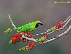 Golden-fronted leadbird, India by Ramakant Kulkarni