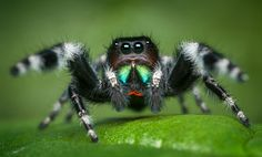 Bold Jumper Phidippus audax (adult male) by Patrick Zephyr Photography Lucas The Spider, Jumping Spider, Neko, Jumper, Spiders, Bugs, Peacock, Monsters, Halloween
