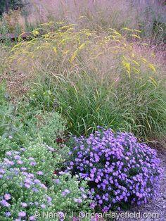 Panicum virgatum 'Rotstrahlbusch' with Symphyotrichum 'Sapphire' and S. oblongifolium and Solidago 'Fireworks' at Hayefield