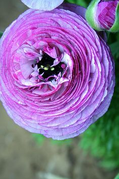 purple ranunculus  This is the flower that's going to be used for the boutiner. Only in a very soft pink.