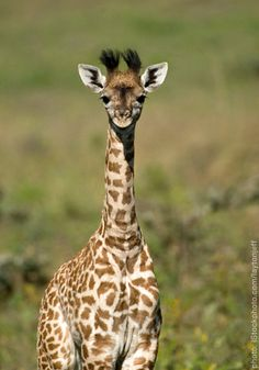 You can never have enough giraffes.