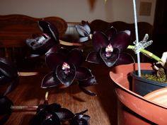 Black Orchids, love them. :)