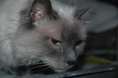 ROXY is an adoptable Ragdoll Cat in Panora, IA. Age: Adult - 5 to 8 Years (approx.) Description: Blue Point Ragdoll - front declawed Location: PETS Shelter (114W Main Street) - Panora, Iowa Roxy ...