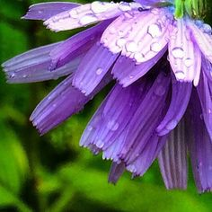 https://flic.kr/p/vkWLzA | A little rain in the UK today :) #upsticksandgo #naturephoto #flowers #rain #unitedkingdom #michfrost #purple #exploring