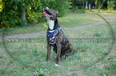 Firm American Pride #Leather #Amstaff #Dog #Harness $159.90