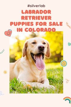 Labrador Retriever Puppies for sale in Colorado is an easy job. There are many Labrador breeders in Colorado offering a great deal of lab retriever puppies for sale. We have listed 05 Best Labrador breeders of................................................. #Labrador #labradorretriever #labradorite #labradors Labrador Breeders, Labrador Puppies For Sale, Retriever Puppies, Labrador Retriever, Silver Lab Puppies, Getting A Puppy, Therapy Dogs, Labradors, Service Dogs