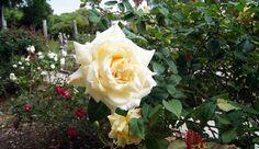 Mable Ringling's Rose Garden, Ringling Museum, Sarasota