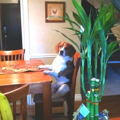 Typical beagle behavior! lol Riley would do this if he wasnt too lazy to jump onto the chair!!