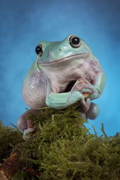 Amphibian - Australian green tree frog or title ...'Whites tree frog' - The skin secretions of the frog have antibacterial and antiviral properties. - photo by zarozinia