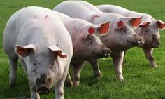 First Long Term Study Released on Pigs, Cattle Who Eat GMO Soy and Corn Offers Frightening Results | NationofChange