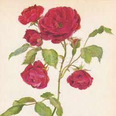 Red Rose, Vintage Botanical Print,  Rose Series Wall Decor,   Art Illustration , Pauls Scarlet Climber via Etsy