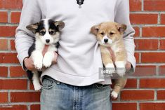 Man holding two Corgi puppies : Stock Photo Cute Puppies, Cute Dogs, Dogs And Puppies, Teacup Puppies, Corgi Dog, Mini Corgi, Corgi Funny, Corgi Pictures, Pembroke Welsh Corgi