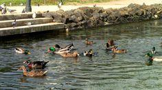 Muitos patos à espera de comida