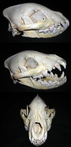 hyena skull mouth open - Google Search
