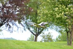 A flying stork at the Golf Club Udine - Italy