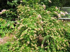 Canyon Creek Abelia-- very reliable-- beautiful spring Yellow, August blooms that drop gracefully-- and now attracting Tiger swallowtail butterfly!!( DZ)
