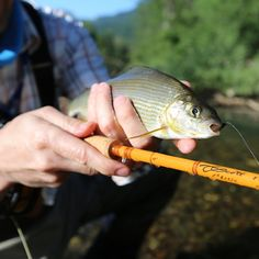 Sweet grayling on a Scott fiberglass rod! All glass models are available in our online Shop! #aosfishing #flyfishingmakesyouhappy #flyfishing #fliegenfischen #pescamosca #fluefiske #graz #styria #steiermark #austria #onlineshop #picoftheday #photooftheday #lovefishing #catchoftheday #catchandrelease #onthefly #grayling #äsche #river #slovenia #fiberglass #scott #glassisnotdead