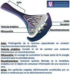 Ilustracion Neurociencias: Neurona - Sinapsis - Asociación Educar Ciencias y Neurociencias aplicadas al Desarrollo Humano  www.asociacioneducar.com