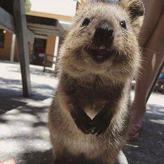 Australian Quokka at Rottnest Island, WA, Australia. (@rottnestislandwa