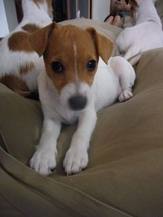 jack russell terrier housebreaking