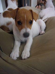 jack russell terrier housebreaking
