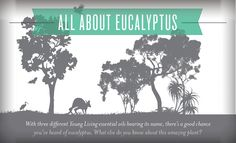 Young Living Blog | All about Eucalyptus | For more information, visit:  www.TheSavvyOiler.com