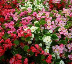 Begonia - Prelude Mix: Begonias have a beautiful green waxy leaf that serves at the perfect backdrop for the delicate flowers it produces.