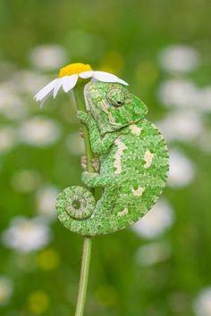 tiny chameleon by lisans on DeviantArt Les Reptiles, Cute Reptiles, Reptiles And Amphibians, Cute Creatures, Beautiful Creatures, Animals Beautiful, Cute Funny Animals, Cute Baby Animals, Animals And Pets
