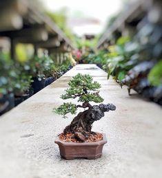 Bonsai Art, Bonsai Plants, Mame Bonsai, Bonsai Styles, Miniature Trees, Clay Design, Live Plants, Garden Projects, Science Nature