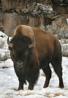 Bison in the snow - so beautiful!