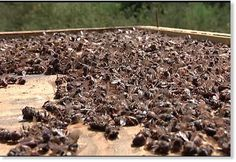 Ban the use of neonicotinoid insecticides in Australia to protect our bees..