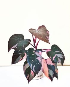 Houseplants That Filter the Air We Breathe Pink Princess Philodendron Buckle:Street Where To Buy Online Rare Plants, Small Plants, Indoor Plants, Plantas Indoor, Plant Aesthetic, Plants Are Friends, Pink Plant, House Plants Decor, Pink Princess