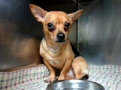SAFE --- URGENT - Manhattan Center ROGER - A0994024 MALE, TAN / WHITE, CHIHUAHUA SH MIX, 3 yrs STRAY - EVALUATE, NO HOLD Reason STRAY Intake condition NONE Intake Date 03/15/2014, From NY 10461, DueOut Date 03/18/2014 Original thread: https://www.facebook.com/photo.php?fbid=772395689439979&set=a.617938651552351.1073741868.152876678058553&type=3&permPage=1