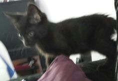 Perdy www.wearvalley.cats.org.uk #catsprotection #adoptacat #darlington