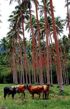 Cows in Vanuatu, dwarfed by palm trees.