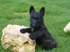 Scottish Terrier | Cachorro de Scottish Terrier