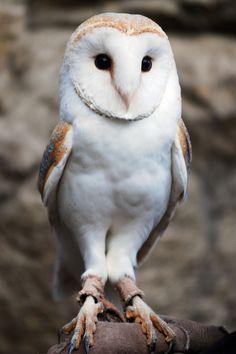"""asthmas: """" In Cherl Kim Barn owl """""""