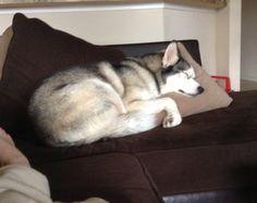 Zeus the Siberian Husky snoozing.