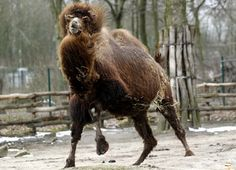 A Bactrian camel runs in its enclosure in the zoo in Gelsenkirchen, Germany, Wednesday, March 13, 2013.