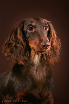 Somewhere in Russia, Dachshund glamour photography is a thing. Hey man, I'm cool with that.