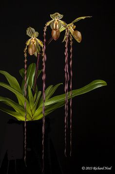 Strange Flowers, Unusual Flowers, Rare Flowers, Flowers Nature, Amazing Flowers, Types Of Orchids, Rare Orchids, Moon Garden, Orchidaceae