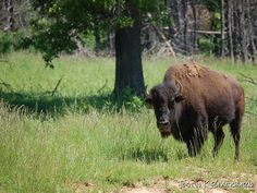 Buffalo still roam the open ranges in Kentucky.